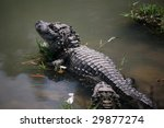 Chinese Alligator   An...