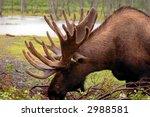 Small photo of Alaskan Moose