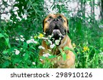 Pet Bullmastiff Dog Sits In A...
