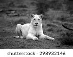 A White Lioness Looking...