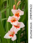 One Gladiolus Flower Orange An...
