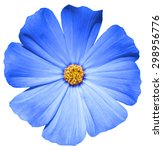 Blue Flower Primula Isolated O...