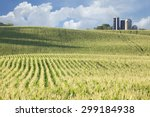 Rolling Field Of Corn With...