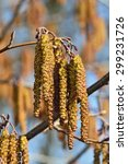 Small photo of Spring. Alder catkins (lat. Alnus) closeup