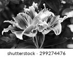 A Bunch Of Tiger Lilies In...