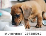 Two Months Old Dachshund Puppy...