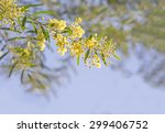 Small photo of Australia Winter and spring yellow wildflowers Acacia fimbriata commonly known as the Fringed Wattle or Brisbane Golden Wattle