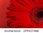 Red gerbera flower blossom.