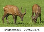 Two Wild Young Male Elk Grazin...
