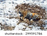 Amur Tiger Sleeping On Dry...
