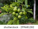 Branch With Green Plums In A...