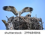 Two Adolescent Osprey Test...