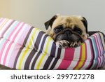 Stock photo close up cute dog pug puppy resting on her bed and watching to camera 299727278