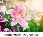 Pink Lily Flower On The Nature...
