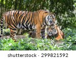tigers in forest | Shutterstock . vector #299821592