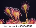 Sundew  Drosera  Lives On...
