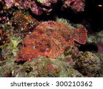 Small photo of Venomous ambushed scorpionfish