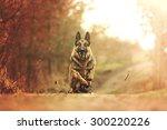 Beautiful Young German Shepher...