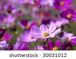 a garden is a sea of flowers... | Shutterstock . vector #30031012