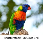 The Rainbow Lorikeet.