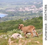 feral soay sheep   ram in... | Shutterstock . vector #300474386