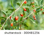 Detail Of Branch With Goji...