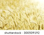 fields of wheat at the end of... | Shutterstock . vector #300509192