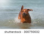 rhodesian ridgeback dog playing ... | Shutterstock . vector #300750032