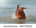 rhodesian ridgeback dog playing ...   Shutterstock . vector #300750032
