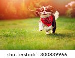 Stock photo young tricolor cavalier king charles spaniel dog playing and running with stick in summer garden 300839966