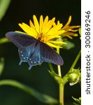 A Pipevine Swallowtail  Battus...