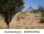 giraffe on african savannah | Shutterstock . vector #300932966