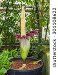 Small photo of CAMBRIDGE, UK - JULY 22, 2015: A rare corpse flower bloomed for the first time in 11 years. The titan arum flowered on July 26 afternoon at the Cambridge University Botanic Garden.