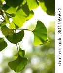 gingko biloba tree in the park | Shutterstock . vector #301193672
