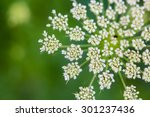 A Closeup Of Daucus Carrota...