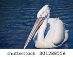 The Big White Pelican With A...