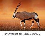 Gemsbok    Oryx Gazella  On...