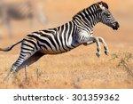 zebra  equus burchell's ... | Shutterstock . vector #301359362