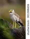 African Bird Wattled Lapwing ...