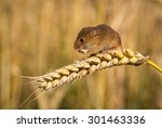 Harvest Mouse Eating Corn
