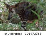 Okapi Rare African Antilope And ...