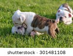 Stock photo puppies playing in the grass bulldog 301481108