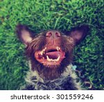 a german wire haired griffon... | Shutterstock . vector #301559246