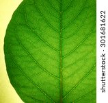 Small photo of lucent green leaf