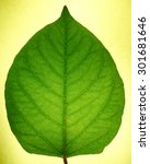 Small photo of lucent leaf