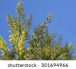 Small photo of Iconic Australian Spring Wildflower Golden Wattle Acacia fimbriata against clear blue sky