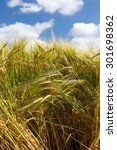 Tall Wheat Barley Crop Plants...