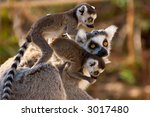 a goup of cute ring tailed... | Shutterstock . vector #3017480