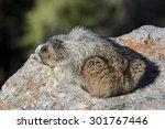 hoary marmot   marmota caligata   Shutterstock . vector #301767446