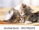 Stock photo kitten licks sleeping cat 301782632